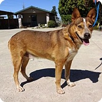 Adopt A Pet :: Buddy - Lathrop, CA