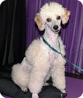 Poodle (Miniature) Dog for adoption in REDDING, California - Snickers