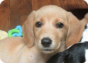 Golden Retriever/Labrador Retriever Mix Puppy for adoption in Trenton, New Jersey - River