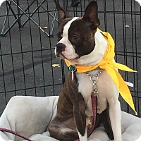 Boston Terrier Dog for adoption in San Francisco, California - Axel