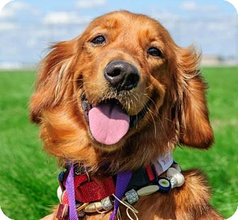 Golden Retriever Dog for adoption in Minnetonka, Minnesota - Beatrix