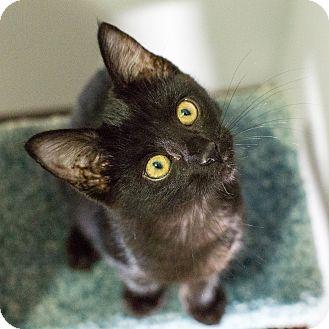 Domestic Shorthair Cat for adoption in St. Louis, Missouri - Bennett