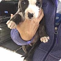 Adopt A Pet :: Juke - Westminster, CO