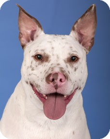 Blue Heeler/Pit Bull Terrier Mix Dog for adoption in Lincolnwood, Illinois - Toby