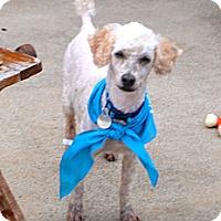 Adopt A Pet :: Nigel - Knoxville, TN