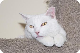 Domestic Shorthair Cat for adoption in Philadelphia, Pennsylvania - Bones