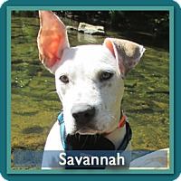 Adopt A Pet :: Savanna - Arlington, TN