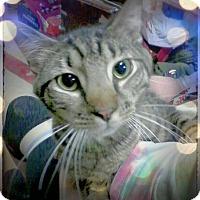 Domestic Shorthair Cat for adoption in Trevose, Pennsylvania - Zee