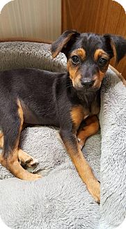 Dachshund Mix Puppy for adoption in Aurora, Colorado - Helena