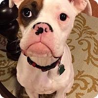 Adopt A Pet :: Bender - Woodbury, MN