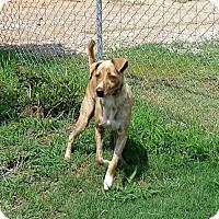 Adopt A Pet :: Bailey SO SO Gentle - Tunica, MS