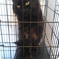 Domestic Longhair Cat for adoption in Glenpool, Oklahoma - Tabitha