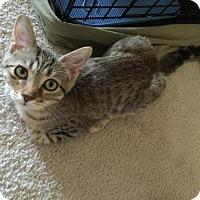 Domestic Shorthair Cat for adoption in Cincinnati, Ohio - Macy