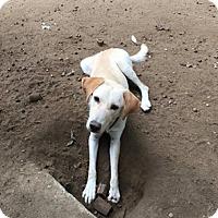 Adopt A Pet :: Mac - Shelter Island, NY