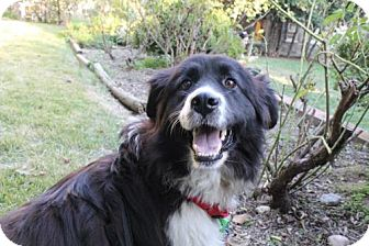 Border Collie/Australian Shepherd Mix Dog for adoption in Washington, D.C. - Lady (Has Application)