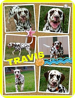 Dalmatian Dog for adoption in Fort Collins, Colorado - Travis