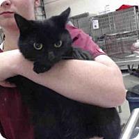 Domestic Shorthair Kitten for adoption in Tavares, Florida - INKIE