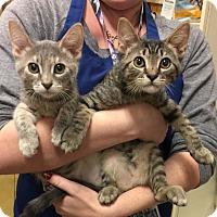 Adopt A Pet :: Cobalt - Rocklin, CA