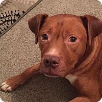 Adopt A Pet :: Chance - ADOPTION PENDING - Troy, MI