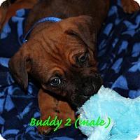 Adopt A Pet :: Buddy 2 - Alameda, CA
