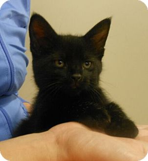 Domestic Shorthair Kitten for adoption in Reston, Virginia - Skittles