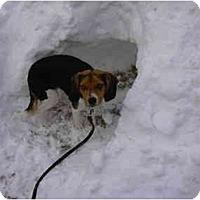 Adopt A Pet :: Dolly - Novi, MI