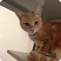 Adopt A Pet :: Annie Oakley - Gilbert, AZ