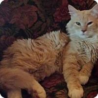 Adopt A Pet :: Scotch - Ennis, TX