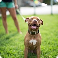 Adopt A Pet :: Lido - Reisterstown, MD