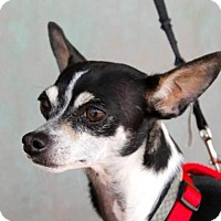 Rat Terrier/Italian Greyhound Mix Dog for adoption in Albuquerque, New Mexico - Joey