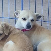 Adopt A Pet :: Barbie - Vista, CA