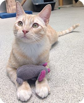 Domestic Shorthair Cat for adoption in Newport Beach, California - Mr. Porch