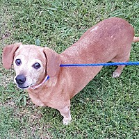 Adopt A Pet :: Ginger - Oklahoma City, OK
