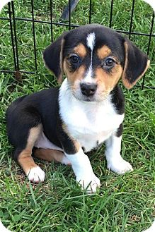 Dachshund/Labrador Retriever Mix Puppy for adoption in Elgin, Illinois ...