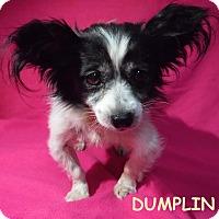 Adopt A Pet :: Dumplin - Batesville, AR