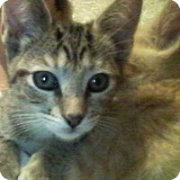 Bengal Kitten for adoption in Yucca Valley, California - Sneakerz