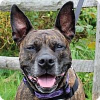 American Pit Bull Terrier Mix Dog for adoption in Fulton, Missouri - Cleo - Massachusetts