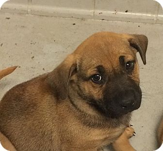 Labrador Retriever/German Shepherd Dog Mix Puppy for adoption in whiting, New Jersey - Rodeo Puppies