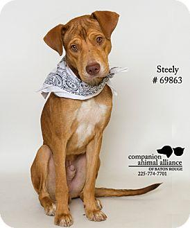 Labrador Retriever Mix Dog for adoption in Baton Rouge, Louisiana - Steely