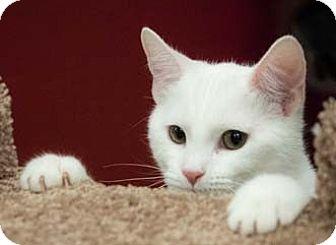 Domestic Shorthair Kitten for adoption in Merrifield, Virginia - Flo