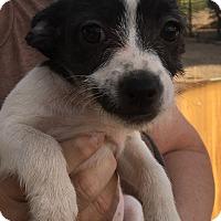 Adopt A Pet :: Bailee - Gilbert, AZ