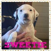 Adopt A Pet :: Sweetie - Wichita Falls, TX