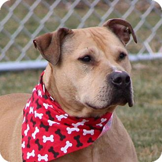 Pit Bull Terrier Dog for adoption in Waverly, New York - Peanut