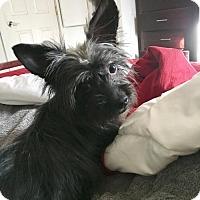 Adopt A Pet :: Yoda  1 1/2 Years - C/S & Denver Metro, CO