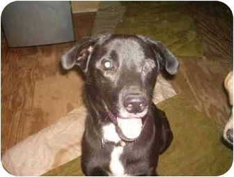 Labrador Retriever Mix Dog for adoption in North Jackson, Ohio - Hunter