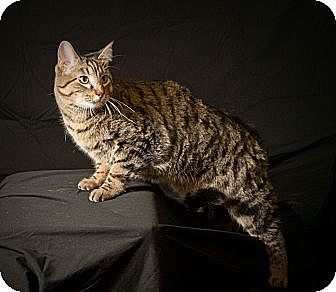 Domestic Shorthair Cat for adoption in Edmond, Oklahoma - Elvis