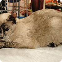 Siamese Cat for adoption in Columbus, Georgia - Marissa