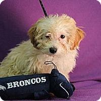 Adopt A Pet :: Isaac - Broomfield, CO