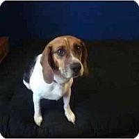Adopt A Pet :: Kobe Jay - Phoenix, AZ