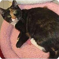 Adopt A Pet :: Kaliko - Jenkintown, PA